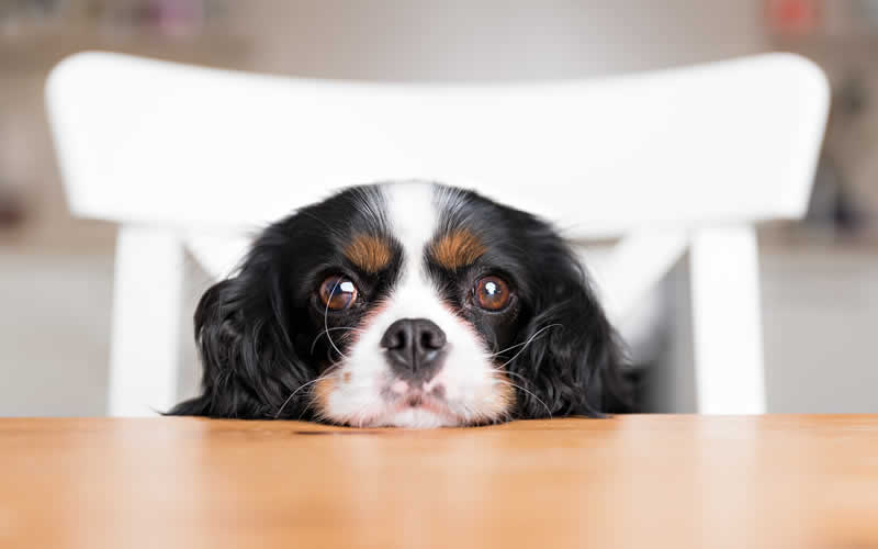 Cavalier king charles at table and the truth about taurine in vegan dog food