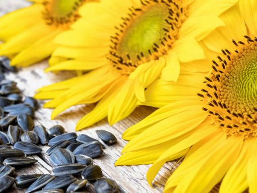 Natural Goodness of Sunflower Seeds