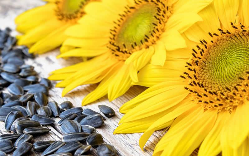 Sunflower oil in plant-based homemade dog food