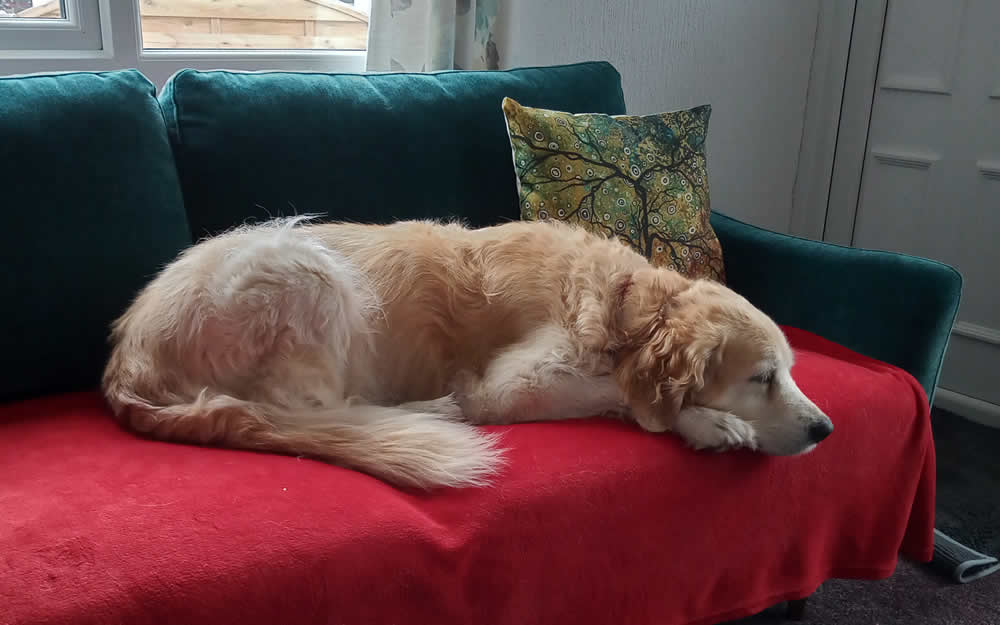 Elderly dog Bea sleeping on sofa and able to climb on the sofa after 1 month on plant-based foods